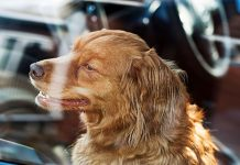 Why is it so dangerous for dogs to be locked in hot cars?